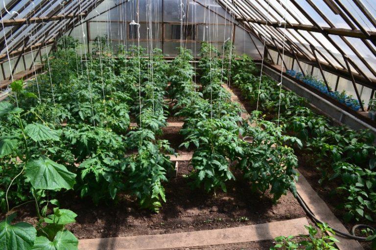 Можно ли сажать баклажаны с помидорами в теплице 685