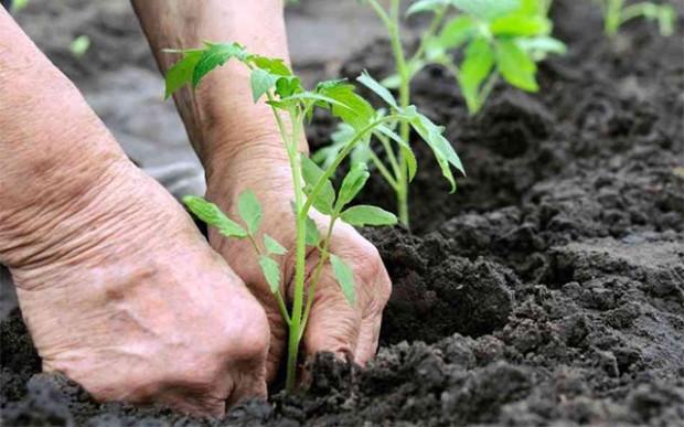 Выращивание помидоров в открытом грунте начинается с того момента, когда вы изымаете рассаду из тепличных условий и пересаживаете ее на улице
