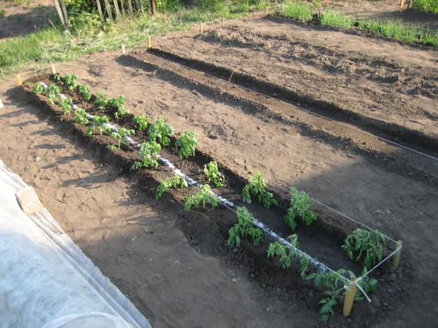 Сорта, предназначенные для выращивания в теплицах, не выживут в условиях открытого грунта и погибнут, а вы потратите деньги, время и нервы