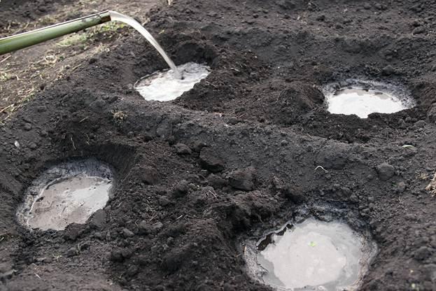Перед тем как высаживать помидоры в лунку, требуется полить ее небольшим количеством воды и только после этого вставлять туда рассаду