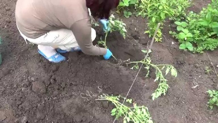 Выращивание помидоров в открытом грунте существенно отличается в зависимости от вида томатов, а их существует огромное множество