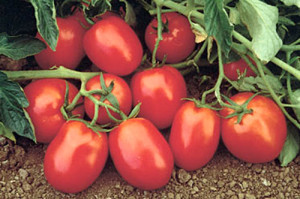 В Сибири с давних времен занимаются выращиванием традиционно южных растений, и одно из таких - томат