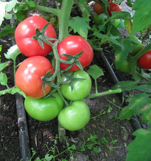 «Сибирский скороспелый» — это грунтовый томат, плоды которого красные и среднего размера