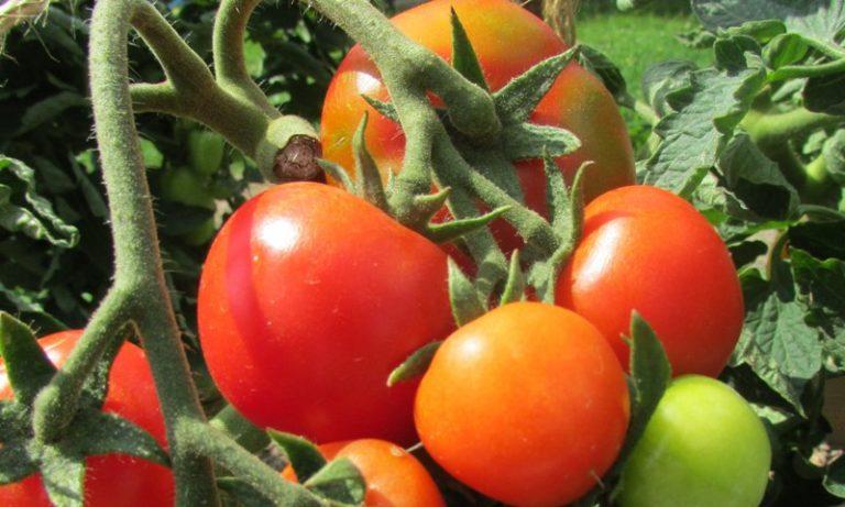 Собирать семена для последующего выращивания из таких помидоров не стоит, так как свойств материнского растения они не унаследуют, урожай будет хуже