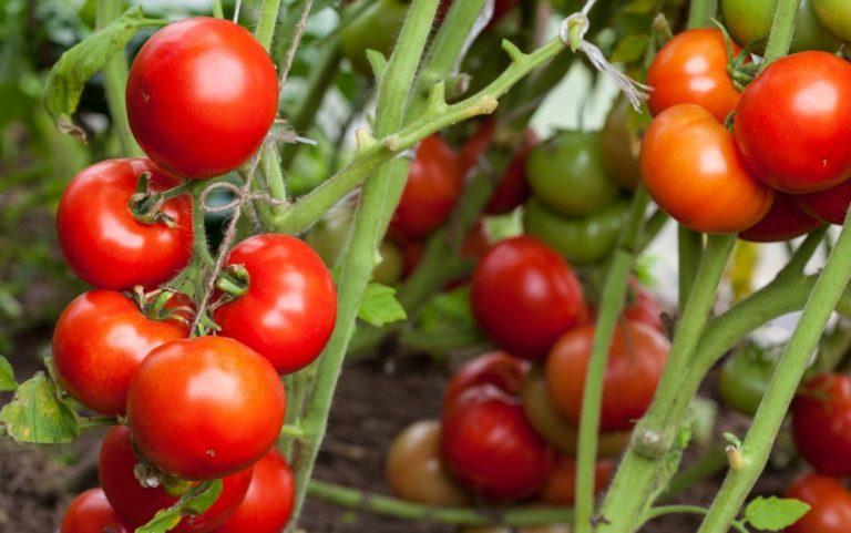 Плоды будут всегда оставаться чистыми, а сбор их будет доставлять только удовольствие