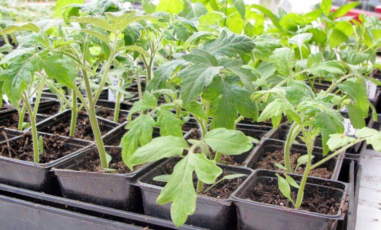 За 2 недели до того как намечается высадка томатов в парниковую землю, сокращается и полив горячей водой