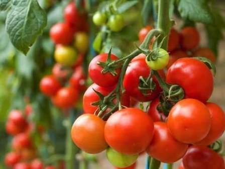 Приступая к выбору томатов для теплицы, следует знать, на какие особенности надо обратить внимание, чтобы растения подошли вам по всем параметрам