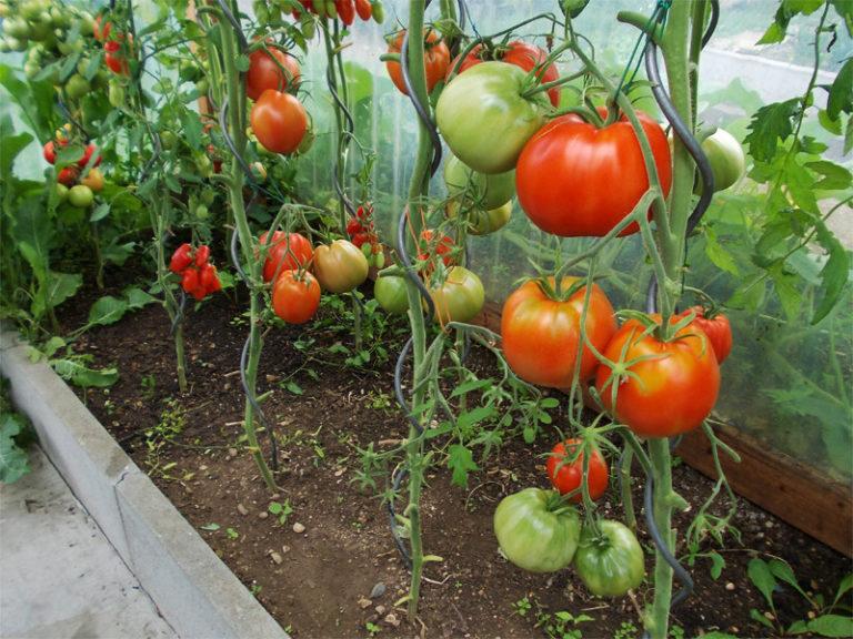 Все больше садоводов предпочитают выращивать тепличные помидоры