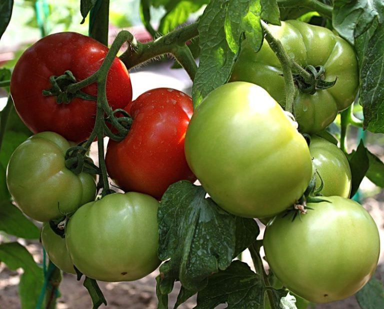 Низкорослые томаты в теплице начинают плодоносить раньше, у скороспелых сортов урожай формируется на первых 2-4 кистях