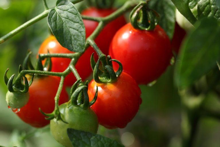 Если обеспечить каждому кусту помидора требующиеся условия, то скороспелые сорта могут одарить первыми плодами на 20-й день после всходов