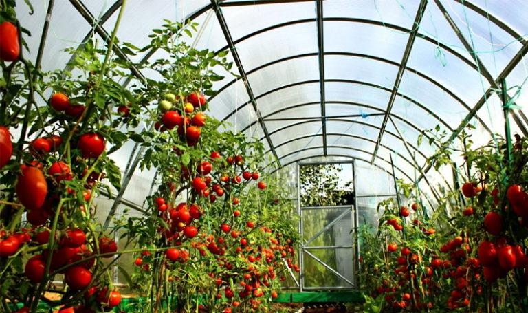 Для укрытого способа выращивания томатов оптимально подходят высокорослые (индетерминантные) сорта