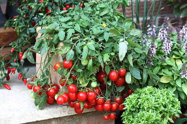 Сорт »Садовая жемчужина» можно сажать в теплице, выращивать на открытом грунте, подоконниках, балконах