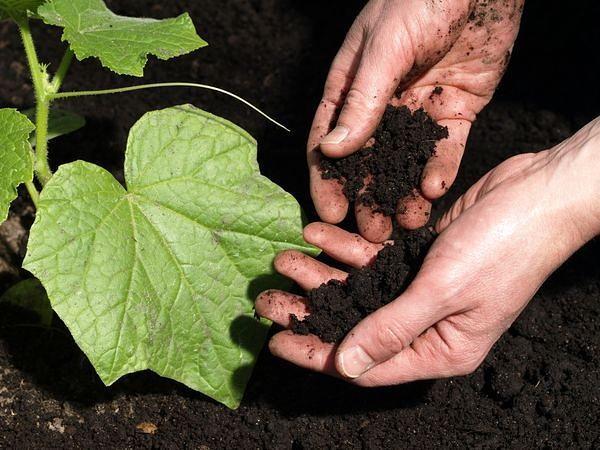 Оптимальным вариантом станет высадка растений на нейтральные либо в крайнем случае слабокислотные почвы