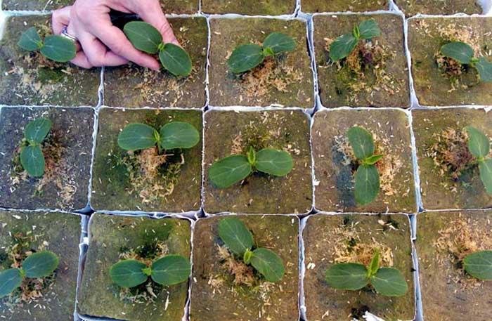Почва для огурцов, при условии нейтральной реакции, должна обладать показателем рН, равным 7