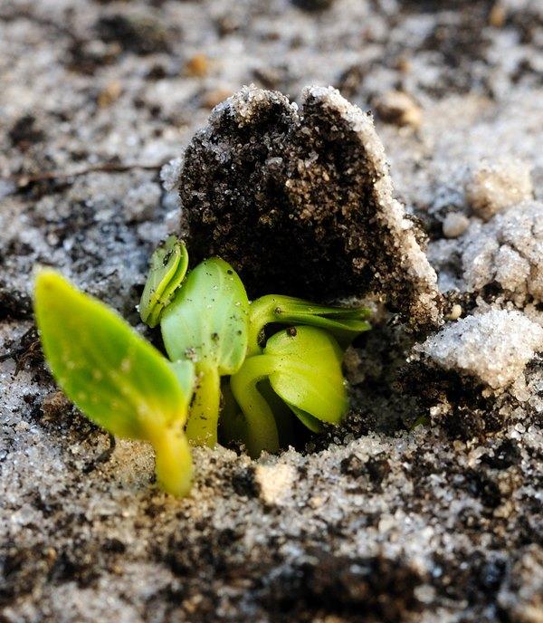 Лучше акцентировать внимание на щелочных органических удобрениях жидкой консистенции и на максимально увеличенном коэффициенте удобрения земли перегноем