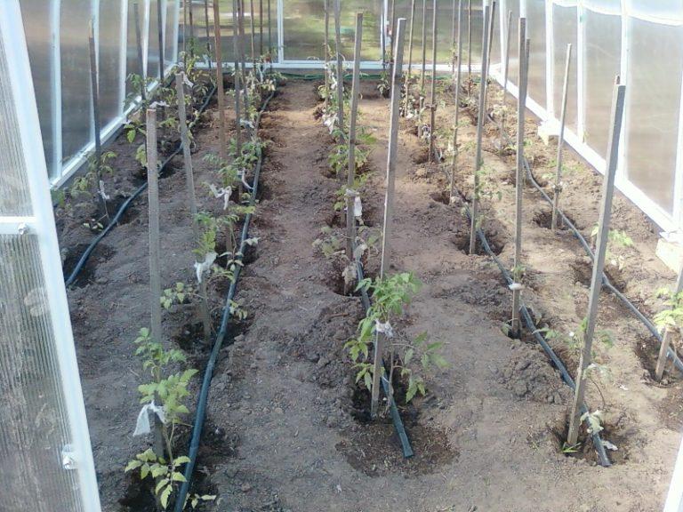 Следует знать не только то, как часто поливать растения, но и саму технологию увлажнения грунта