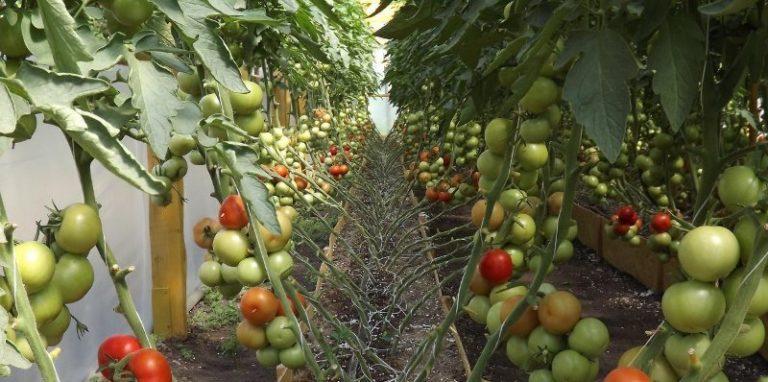 Сортам помидор среднего роста не особо нужна такая операция, тогда как высокорослые томаты нуждаются в подвязке