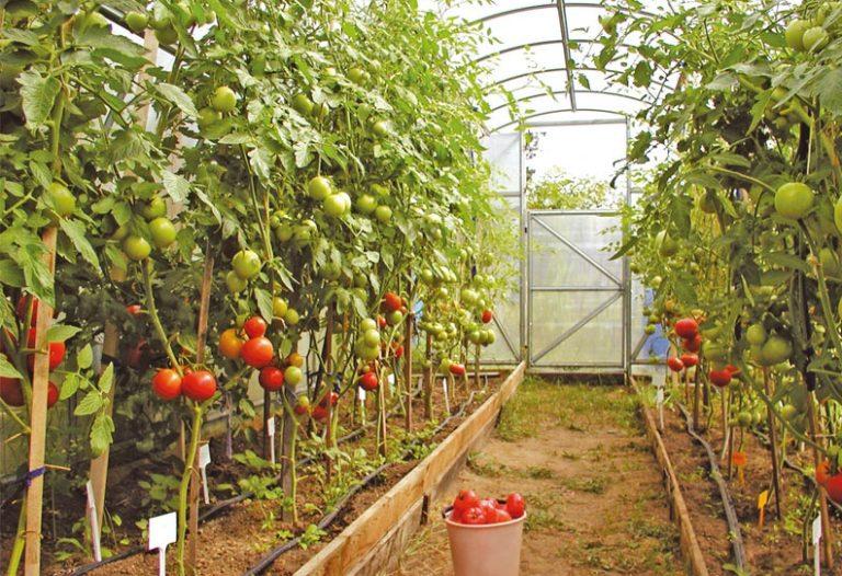 Подвязывать помидоры в теплице можно с использованием кольев