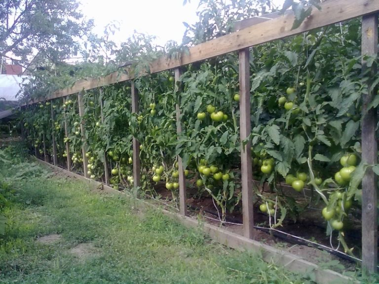 Применение шпалера для подвязки томатов — этот способ более надежный и сложный