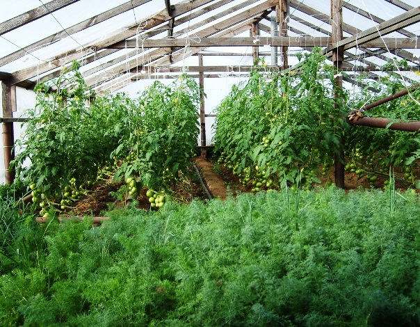 Благодаря подвязыванию томатов упрощается полив, так как для этих растений правильным является полив под корневую систему