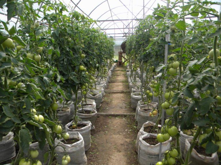 Подвязка помидоров требует аккуратности