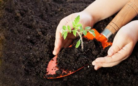 Томат - прихотливый овощ, которому нужно уделять максимум внимания весь период роста
