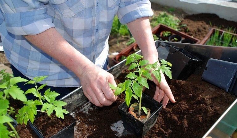 Саженцы томатов пригодны к посадке после того, как они достигают 20 см в длину и начинают развивать мощную корневую систему