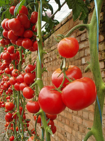 На плодоношение томатов влияет много факторов, одним из них является подвязывание