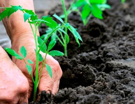 Выращивать томаты несложно