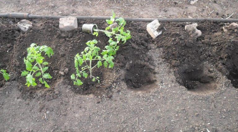 Для правильного роста рассаду томатов следует освещать в течение 16 часов в сутки