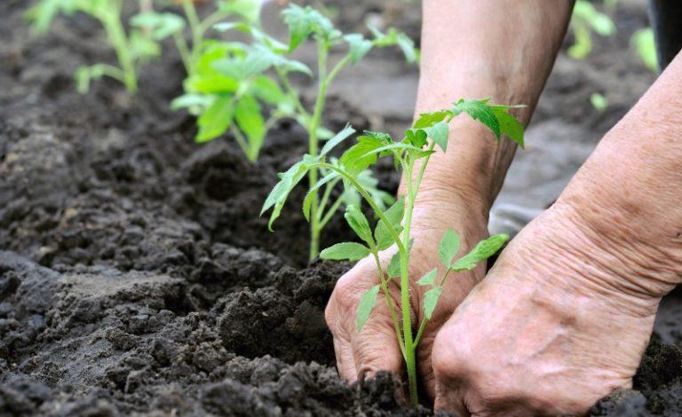 Посадить переросшую рассаду помидор нужно именно на глубину не более 10-15 см.