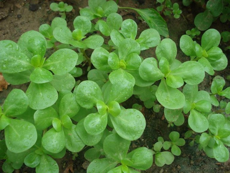 Если в теплице условия благоприятны, то первые всходы растения появляются через 10-14 дней