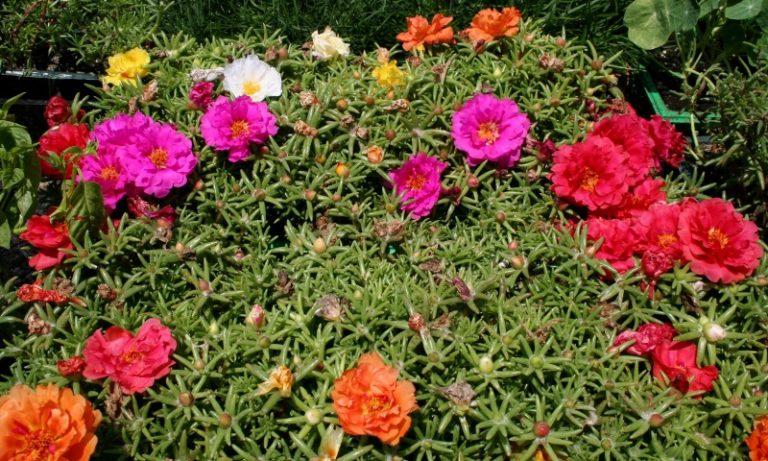 Портулак является драгоценным гостем на клумбах и садах большинства садоводов