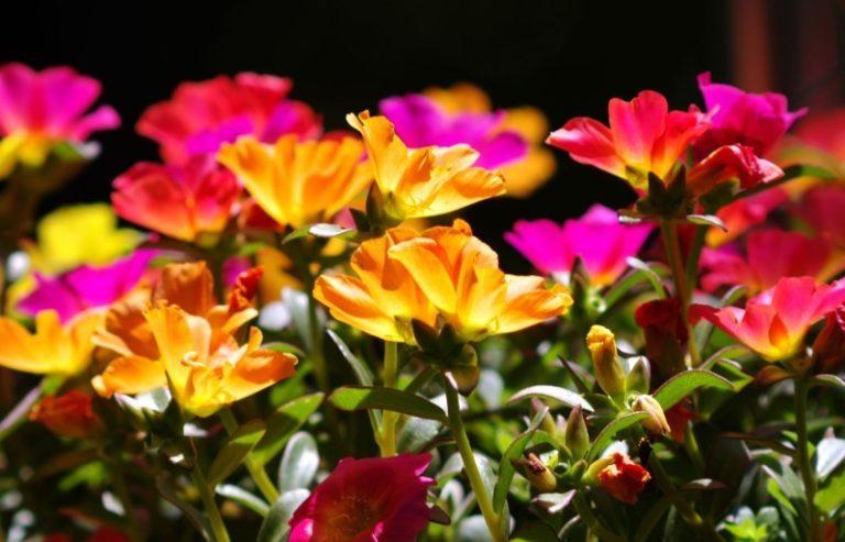 Портулак является устойчивым растением, ему не страшны заболевания и вредители