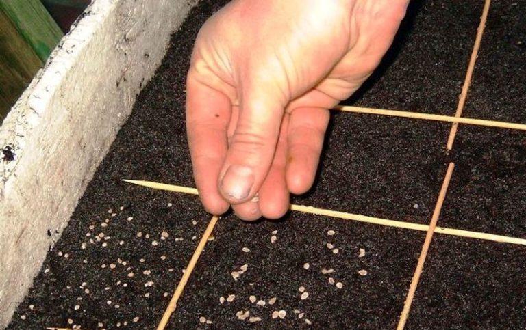 Выращивание рассады томатов происходит в специальных ящиках, заполненных качественным грунтом, предназначенным для огородных культур