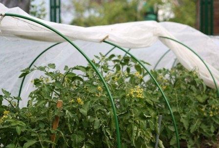При какой температуре высаживают помидоры в теплицу: выращивание рассады томатов, оптимальная для посадки в парник, выдерживает или замерзнет почва