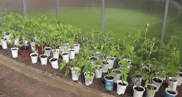 Поскольку томаты очень теплолюбивые растения, необходимо помнить, что значение имеет не только температура почвы, но и атмосферные температурные показатели