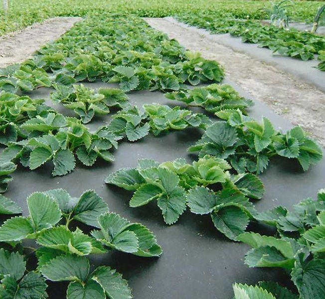 Каким бы способом посадки клубники садовод ни воспользовался, по ее окончании почву следует замульчировать