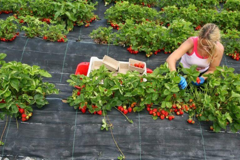 Правильно посаженная клубника будет отлично развиваться и даст большой урожай чистых ягод