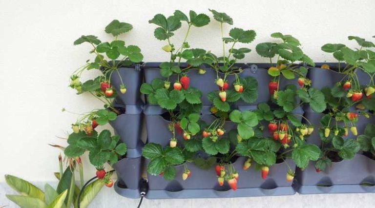 Выращивание клубники в подвешенном состоянии