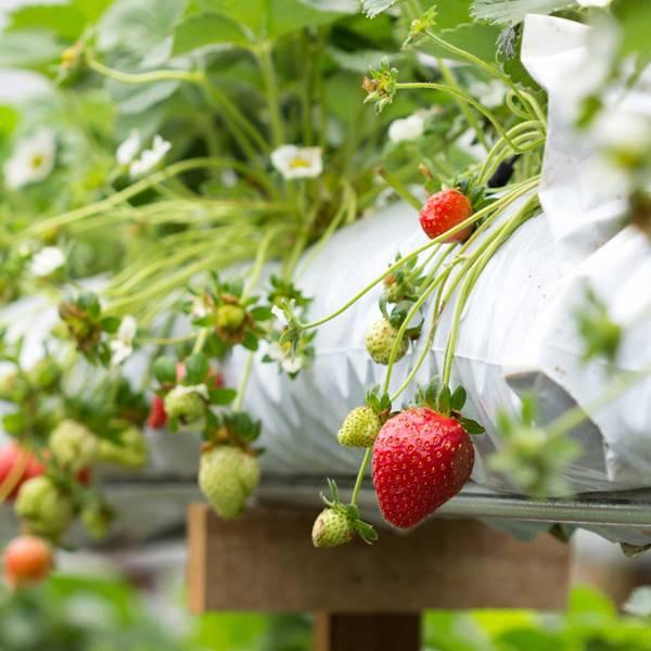 Урожайность можно повысить в несколько раз, зная, как правильно выращивать клубнику по голландской технологии