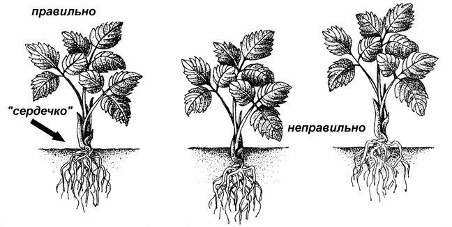 Точку роста растения не надо слишком заглублять либо приподнимать над землей