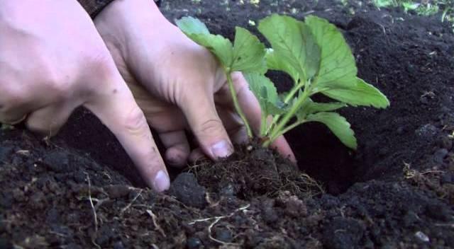 У хорошего саженца должно быть 3-4 здоровых листа, если есть еще, то их удаляют, и хорошо вытянутые корни