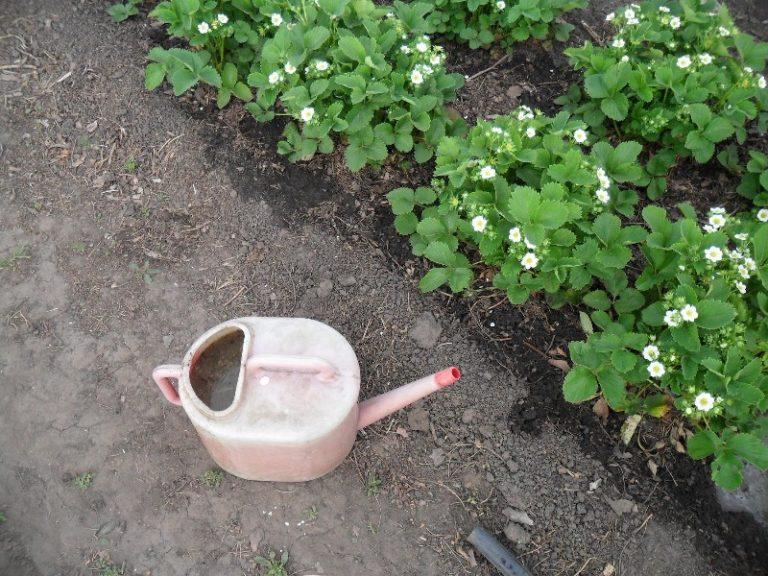 Популярным и эффективным способом обработки клубники ранней весной является применение в качестве удобрения куриного помета