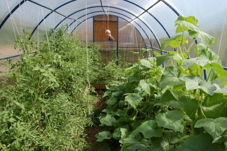 Хорошо рядом с огурцами в парнике высадить томаты