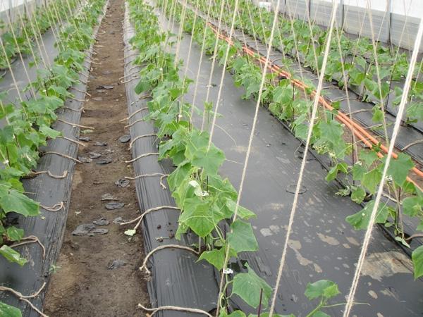 Как только появятся на огурцах первые 3-4 постоянных листочка, нужно будет каждое растение привязать к шпалере