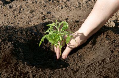 Посадка помидоров в открытый грунт в Украине осуществляется по общепринятой схеме