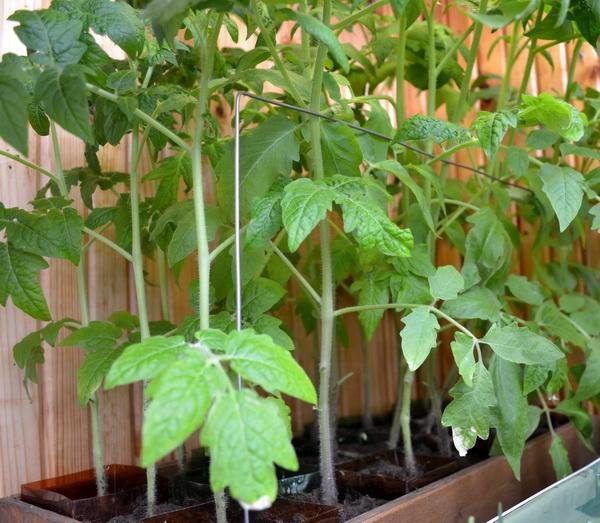 Выращивание помидоров — трудоемкий процесс, который требует от человека много сил