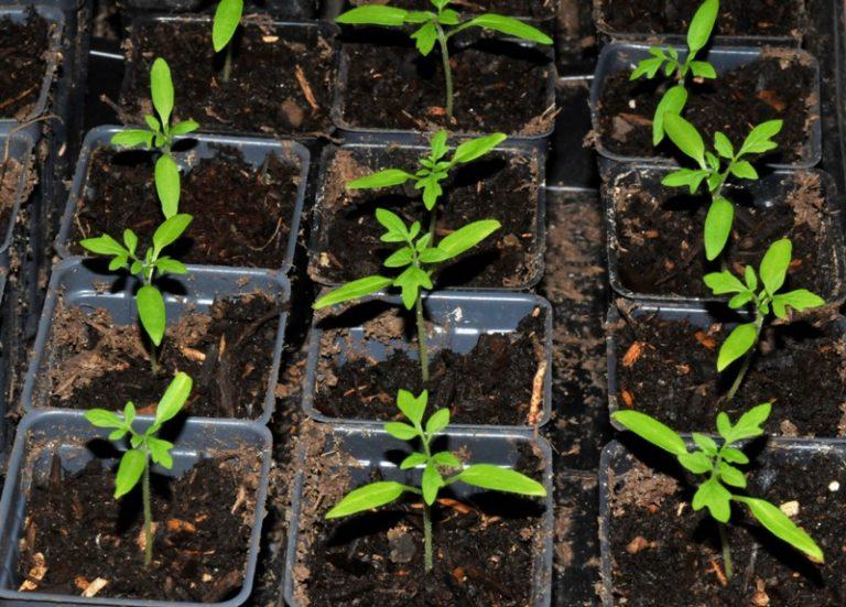 Секреты выращивания и пикирования рассады заключаются в точном соблюдении сроков