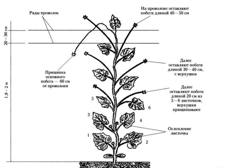 При формировании растения оставляется несколько листочков, подпитывающих растения в грунте, а скрюченные листики и слабые петельки удаляются